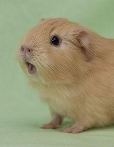 how to get a guinea pig to love you