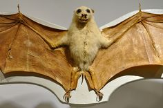 Island Tube Nosed Fruit Bat by lollopins, via Flickr
