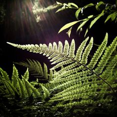 Image of Backlit Bracken by Jo Christian Oterhals. Plant Leaves, Product Launch, Christian, Landscape, Spring, Nature, Plants, Photography, Image