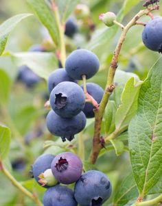 Caring for Blueberry Plants