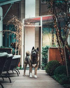 Malcolm plays hide-and-seek at Mandarin Oriental, Paris (Lush garden) Mandarin Oriental, Lush Garden, Akita, Paris, Fur, Animals, Beautiful, Animales, Animaux