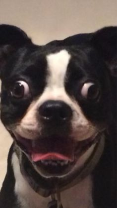 This is what it looks like when… Someone's Happy! - Funny Boston Terrier Dog ► http://www.bterrier.com/?p=29732 - https://www.facebook.com/bterrierdogs