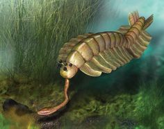 Opabinia had five eyes and a single appendage extending from its head. Copyright Quade Paul - The Weird Youth of the Animal Kingdom (Slide Show) – Phenomena: The Loom