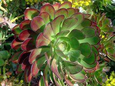 Aeonium arboreum var. atropurpureum – Purple Rose, Purple Aeonium - See more at: http://worldofsucculents.com/aeonium-arboreum-var-atropurpureum-purple-rose-purple-aeonium