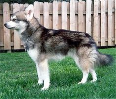 My new dream dog it's a Alaskan Klee Kei, a mini Siberian Husky....really? too cute!
