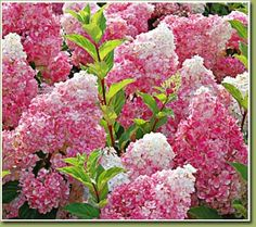 Hydrangea Pinky Winky - these are beautiful plants. Have two in my backyard and I love them!! Easy to care for!!
