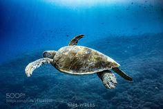 Turtle Flight by matgwatts #nature #photooftheday #amazing #picoftheday #sea #underwater