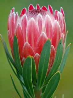 Protea Pink Ice, Neriifolia x Susannae, is one of our hardiest and most abundant fall flowers! This gorgeous protea is comprised of a la.