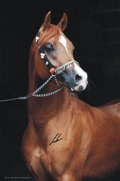 Arabian Horse Arabian Horse Show - Western Competition Egyptian Stallion…