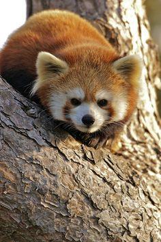 Red Panda (by conwest_john)