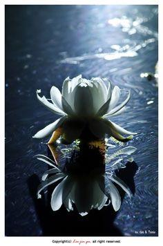 white lotus reflected