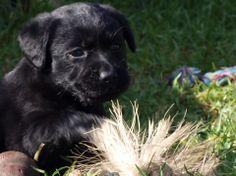 16 Best Labrador puppies NSW Australia images in 2013