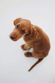 Oh, what a guilty look! How can an Irish Setter puppy do anything wrong? - LOPPISLIV: MOLLY
