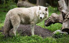 Wolf wallpaper - 1398250