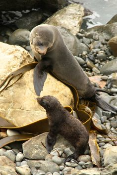 Seals New Zealand Kaikoura pup #seal #wildlife