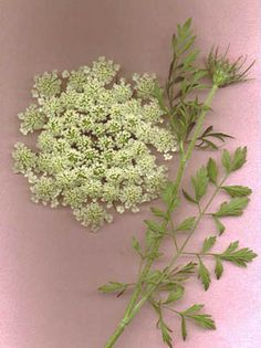 Queen Anne's Lace (Wild carrot) - natural contraceptive. This website is a great resource for herbs that increase fertility and can be used as contraceptives. Dozens upon dozens of pages of information. The best resource I've found so far on herbal contraception.