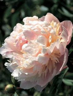 Peony 'Solange' - Thick, silky cream petals form a ball shaped flower that is touched with pink, giving the flower an amber hue. Exotic Flowers, Purple Flowers, Beautiful Flowers, Yellow Roses, Pink Roses, Daffodil Flower, Cactus Flower, French Beaded Flowers, Peonies Garden