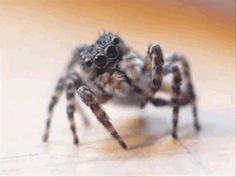 This poor little crawler is more scared of you than you are of him. | These Spiders Will Cure Your Arachnophobia With Their Cuteness // awwwwwwwwww