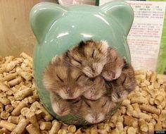 A bundle of dwarf hamsters..so sweet!