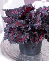 Bégonia royal (Noir/rouge)