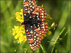 "rare butterfly photos | Stock image of ""anicia checkerspot"" provided by Flickr user Blueberry ..."