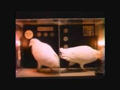 Psychologists Epstein and Skinner in a classic classroom film originally released in 1982 and dubbed best film of the year by the American Psychological Association. In sometimes stunning footage, the film shows that pigeons, with the right training, can behave in ways that appear to demonstrate advanced human phenomena: self-awareness, insight, problem solving, imitation, symbolic communication, and even the use of a memorandum.