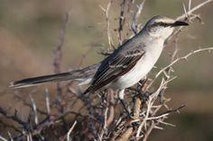 Chuchubi - Tropical Mockingbird (photo by Greg Peterson)