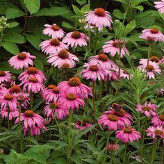 8 Flower Landscape Ideas For Your Garden – Garden Ideas 101 Echinacea Purpurea Magnus, Flower Garden Plans, Box Garden, Garden Tips, Lake Garden, Garden Ideas, White Flower Farm, Flower Pot Design, Starting A Garden