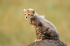 I want to be a cheetah cub.