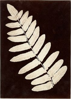 [Botanical Specimen: Fern] by Unknown, The Met's Photography Department Medium: Albumen silver print from glass negative Gift of Simon Lowinsky, in memory of his uncle, Herbert Jonas, Vintage Wall Art, Vintage Walls, Fine Art Prints, Framed Prints, Canvas Prints, Leaf Projects, Historical Maps, Heritage Image, Ferns