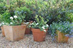The Otto Luyken Laurel (just finished flowering) provides a backdrop for the terracotta pots on this terrace, and a separation from the lawn.