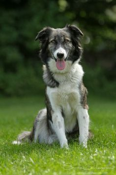 Aidi / Atlas Mountain Dog / Atlas Shepherd / Chien de Montagne de l'Atlas / Moroccan dog