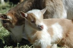 Registered Nigerian Dwarf dairy goats for sale and super cute baby goat pictures!