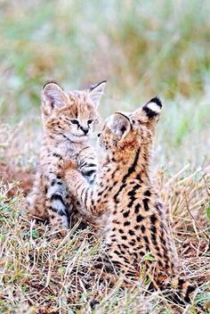We are the African safari experts. With more than 20 years' experience creating custom tours and safaris packages, we'll help you plan your dream safari. Baby Animals, Cute Animals, Savanna Animals, Wild Animals, Big Cats, Cats And Kittens, Serval Kitten, Safari, Baby Cheetahs