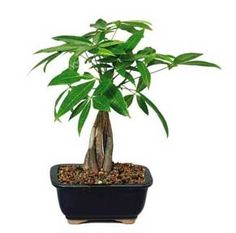 Money Tree Care: Growing The Braided Money Plant