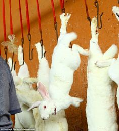 Barbaric: Animal protection charity Humane Society International (HSI) visited a 'house of horror' Chinese slaughterhouse where 10,000 rabbits are killed daily