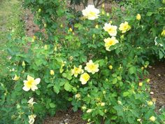 One Gallon Size Yellow Shrub Rose Live Plant by arborfieldplants, $15.00