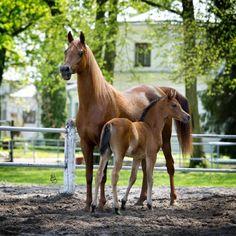 PANONIA | ARABIAN HORSE DAYS. Mare and baby