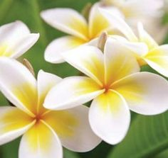 Frangipani..I know it's not unique or native to Oz but it sure says queensland summer to me....
