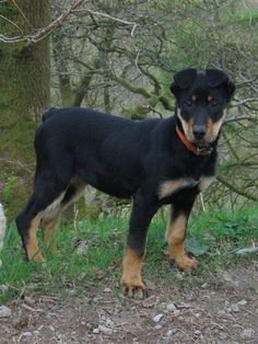 #Huntaway / New Zealand Sheepdog #Dog #Puppy