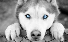 Husky eyes...