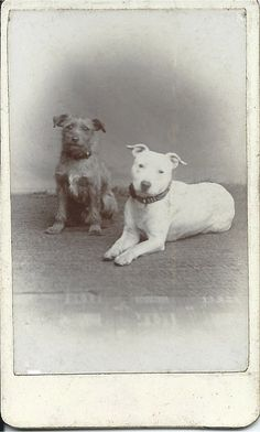 1880s cdv of white pit bull lying with his seated scruffy terrier companion.  Photographer: Fleming, Royal Studio, Southsea. From bendale collection