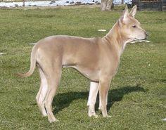 Thai Ridgeback, 4 Months, fawn, Thai Ridgeback of kennel Plums Jewel -