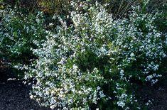 RHS Plant Selector Spiraea thunbergii AGM / RHS Gardening