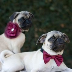 Dog Collar and Flower Bow Cranberry Wedding Photo Prop. $22.00, via Etsy.