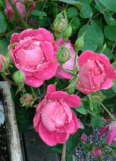 'Knock out Pink' roses after a shower. Photo by Jan R. Fuller