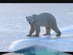 How Polar Bears Survive on 'Heart Attack' Diet - Yahoo News Philippines Polar Bear Facts, Arctic Polar Bears, Polar Bears Live, Save The Polar Bears, Unusual Facts, Weird Facts, Georges Chelon, Polar Bears International, Vulnerable Species