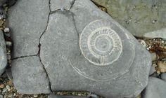 Ammonite Pavement, Monmouth Beach, Lyme Regis