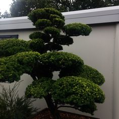 Taxus cuspidata var. intermedia - (Japanese Yew)