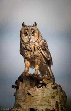 Long Eared Owl - null